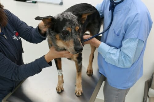 Dog being tended to by 2 people in clinic