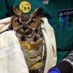 owl at Dane County Humane Socieity Wildlife Center