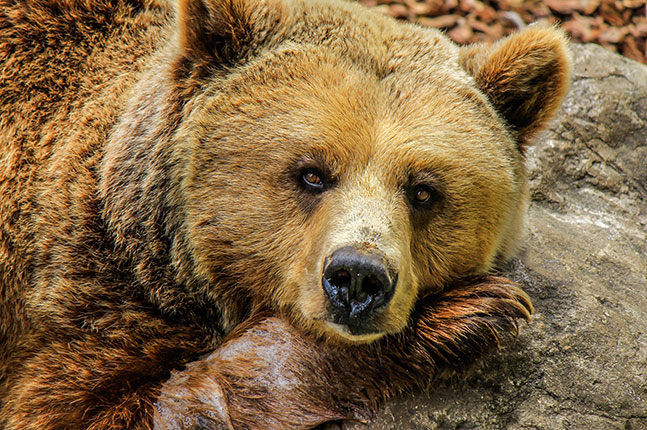 close up of brown bear face