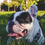 French bulldog in grass