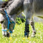 Donkey shown in a field eating grass standing on his artificial leg.
