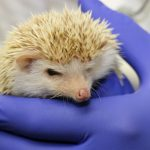 Closeup of a hedgehog face, held with blue surgical glove.