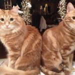 Two orange stripped cats, Bella and Otto, sit side by side.