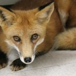 Close up picture of a beautiful young red fox in exam room.