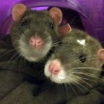 Photo: pet rats Louie and Sammie