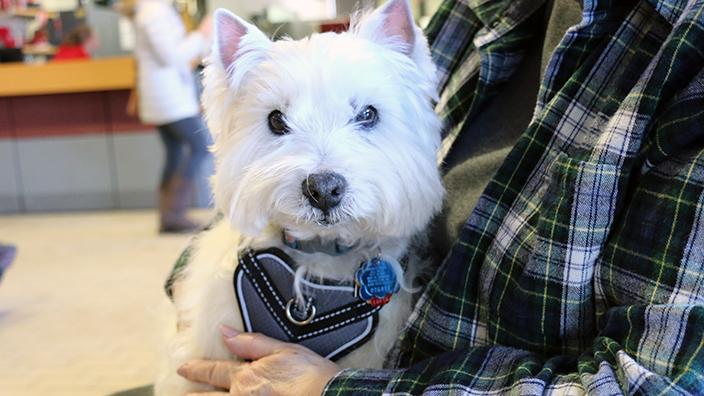 Westie dog being held by owner