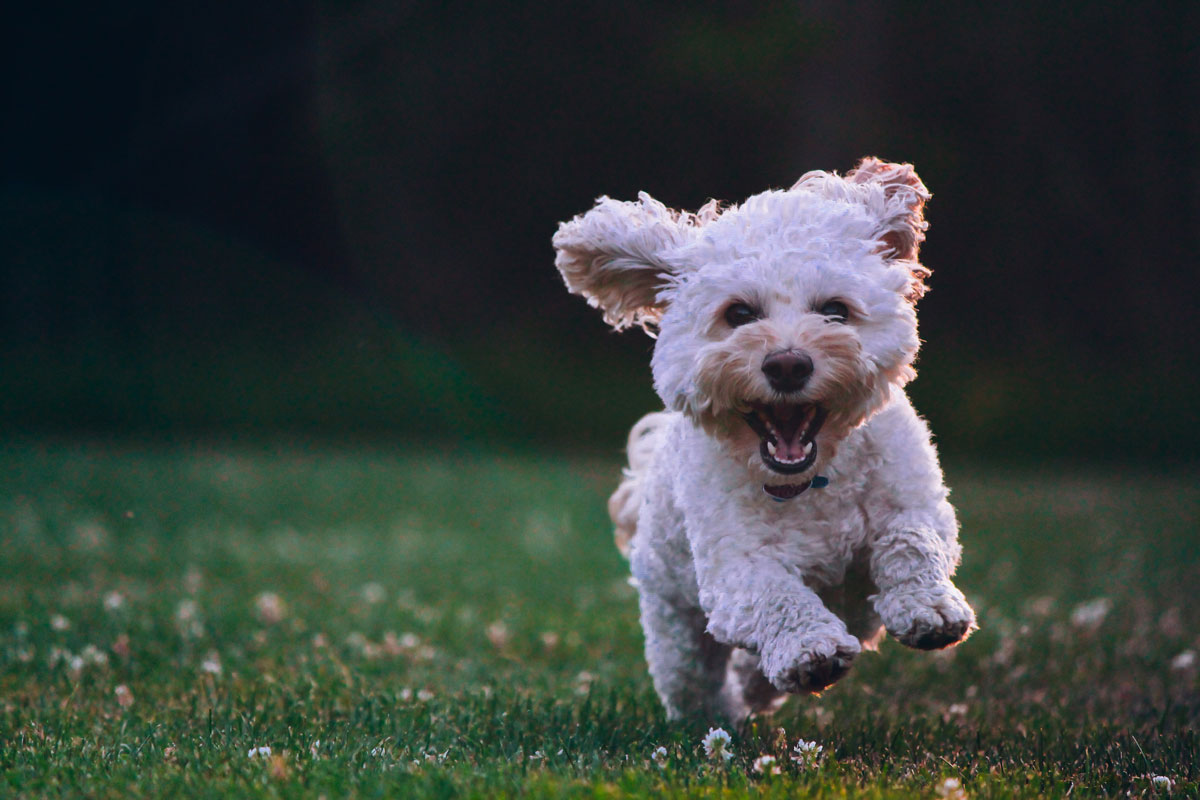 photo: dog running in grass