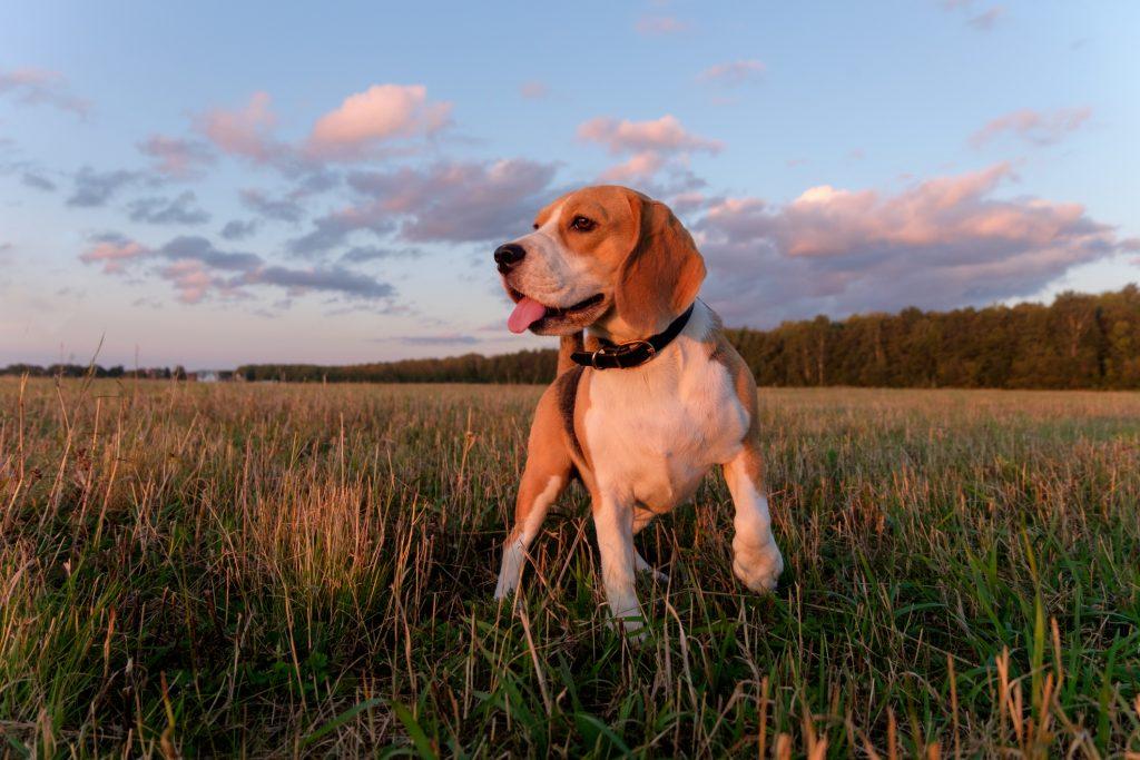beagle dog in field of grass