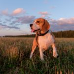 beagle dog in field of grass