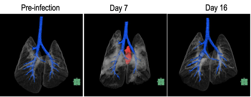 Images of the lungs of hamsters before and after infection with SARS-CoV-2, from CT scans at UW Veterinary Care at the School of Veterinary Medicine