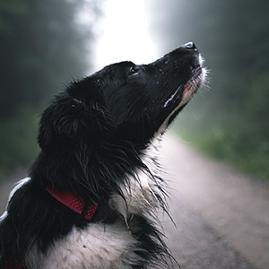 Black and white dog in profile.
