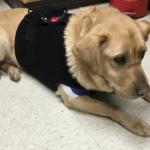 Dog on clinic floor wearing black heart monitor halter