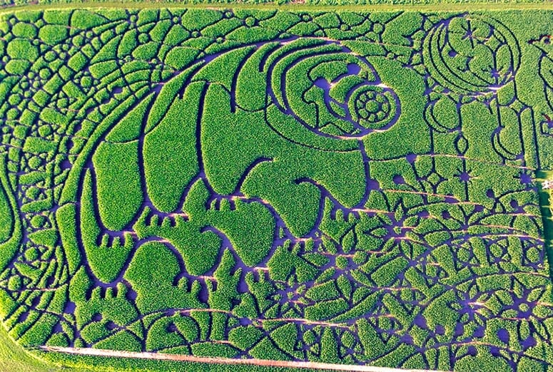 Usually about 15 thousandths of an inch long, the tardigrade at Treinen Farms in Lodi covers 15 acres with miles of maze paths. To build the corn maze, crew members put flags on the field marking important spots on the design, and then they come through with a commercial lawn mower to start cutting the design. Then, they use a tiller to carve out the path.