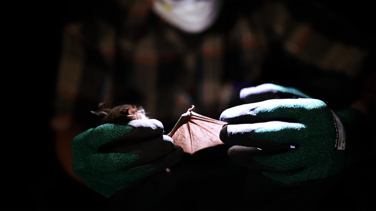 Andrew Bennett, a former graduate student in the UW–Madison School of Veterinary Medicine, holds a cyclops leaf-nosed bat during field work in Uganda's Kibale National Park, in search of viruses carried by the animals