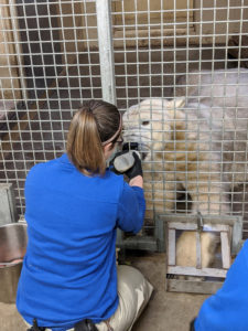 Henry Vilas Zoo staff work on a blood draw behavior with Berit while she receives a continuous treat of honey water