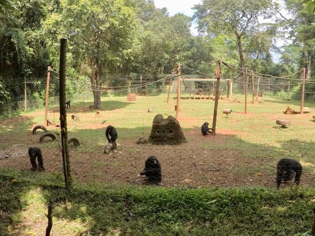 Chimpanzees in an enclosure at the Tacugama Chimpanzee Sanctuary in Freetown, Sierra Leone