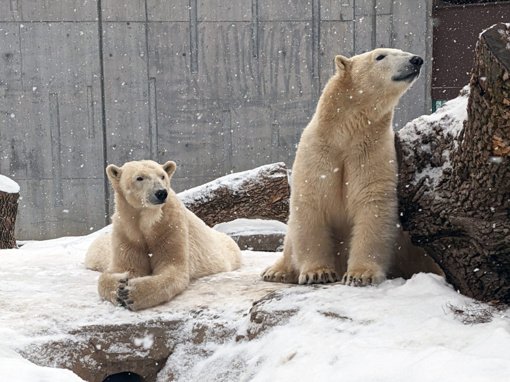 The Henry Vilas Zoo's two polar bears, Bo and Berit, together in their Arctic Passage exhibit