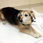 Chester, a patient of UW Veterinary Care enrolled in an Oncology clinical trial