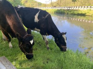 Former resident donor and teaching cows Maxine and Lois enjoy retirement on the farm of Eric Howlett DVM'18