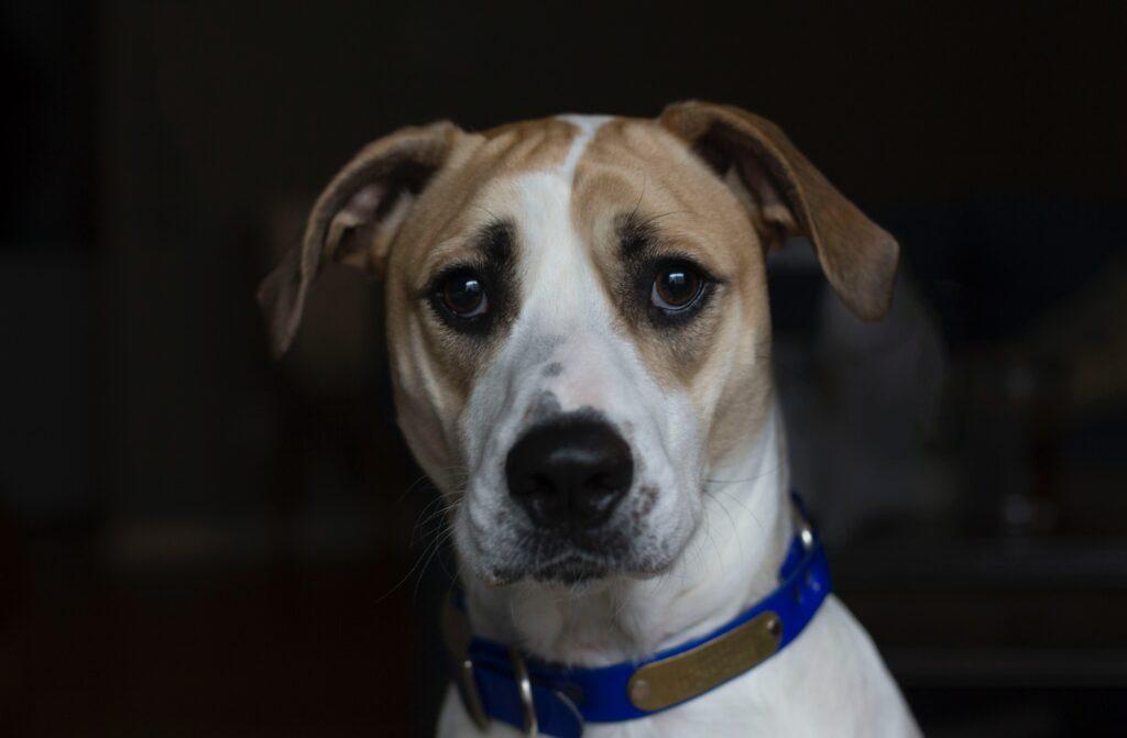 brown and white dog looking at camera