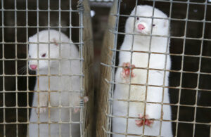 In this Dec. 6, 2012, file photo, minks look out of a cage at a fur farm in the village of Litusovo, northeast of Minsk, Belarus. Coronavirus outbreaks at mink farms in Spain and the Netherlands have scientists digging into how the animals got infected and if they can spread it to people. (AP Photo/Sergei Grits, File)