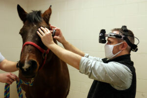 Seth Eaton, clinical assistant professor of comparative ophthalmology, examines the eyes of Valentine, a blood donor horse for UW Veterinary Care's Morrie Waud Large Animal Hospital